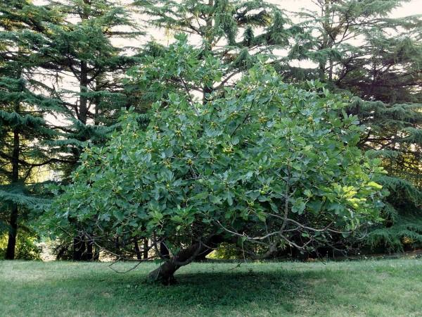 pianta-di-fico-600x450.jpg